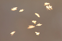 Cloud of midges backlit by setting sun. Surrey, UK.