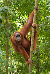 A Sumatran orangutan takes a relaxed stance on a forest sapling near Bukit Lawang, North Sumatra.