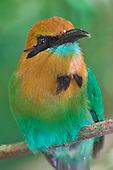 Broad-billed Motmot, Costa Rica