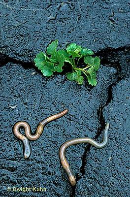 1Y01-061b  Earthworm - on driveway after rain
