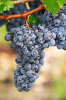 Bunches of ripe grapes. Cabernet Sauvignon. Chateau Kirwan, Margaux, Medoc, Bordeaux, France