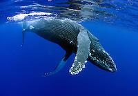 Close-up of Humpback whale near surface.  Maui, Hawaii.