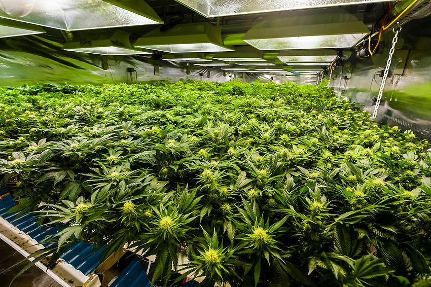 grow room for flowering marijuana plants medicine man denver is the single l. Black Bedroom Furniture Sets. Home Design Ideas