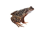 Comon frog in the field studio
