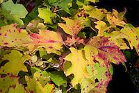 Hydrangea quercifolia 'Little Honey' fall foliage