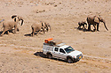 Namibia;  Namib Desert, Skeleton Coast,  desert elephant (Loxodonta africana) breeding herd walking past tourist vehicle in dry river bed
