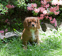 Golden king Charles Spaniel outdoors
