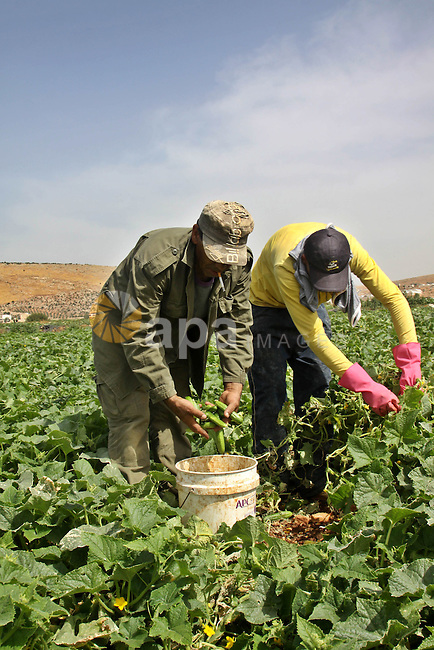Palestinian farmers harvest Armenian cucumbers known locally as Faqoos  in Fara refugee camp near in the West Bank city of Jenin. in the Israeli occupied Palestinian West Bank on May 29, 2012. The Palestinian economy is experiencing a serious drop in liquid assets that has worsened since last year due to a reduction in aid from Western and Gulf countries, as well as trade and movement restrictions imposed by Israel, an IMF report said earlier in the year. Photo by Nedal Shtieh