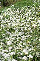 Daucus carrota Wildflower, carrot in flower