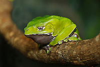 Giant Monkey Tree Frog  (Phyllomedusa bicolor), Captivity.