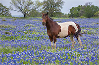 Near Marble Falls, Texas, I found this Texas Hill Country horse in a field of Texas Bluebonnets.