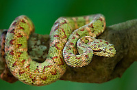 489180012 a captive green and red banded eyelash viper bothriechis schlegelii sits coiled on a tree limb species is native to south and central america