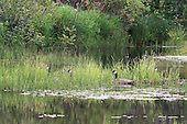 Geese resting in long grasses in shallow waters of wetlands