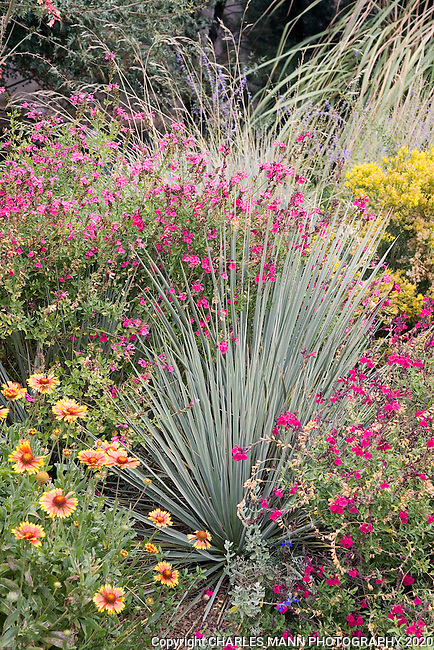 A spiky blue gray yucca along with red flowered  Salvia greggii (autumn sage) and Gaillardias make a colorful and drought tolerant combination in a design b y Dan Johnson at the Denver Botanic Garden.