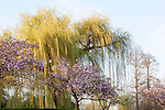 A weeping willow and magnolia trees in early spring in Regents Park, London, England