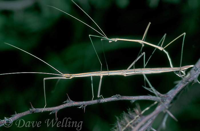 397018001 a wild pair of northern walking sticks diapheromera femorata mating or in copula in the rio grande valley of south texas