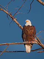 Bald Eagle perched in a tree in evening light