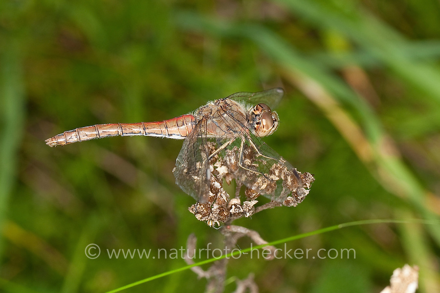 Gemeine Heidelibelle, Weibchen, Sympetrum vulgatum, Vagrant Darter, Moustached Darter, Segellibellen, Libellulidae, skimmers, perchers