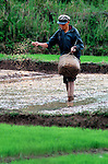 A farmer spreading rice seed near Champasak, Laos.