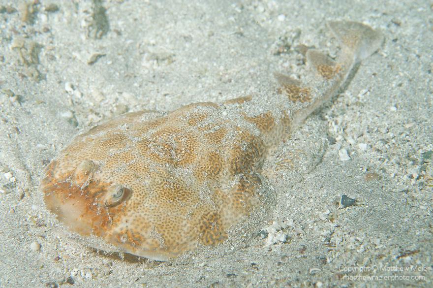 Sea of Cortez, Baja California, Mexico; a Bullseye Electric Ray (Diplobatus ommata) resting on the sandy bottom