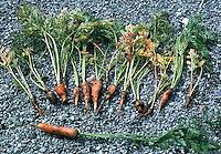 Carrot fly damage on dug up carrots