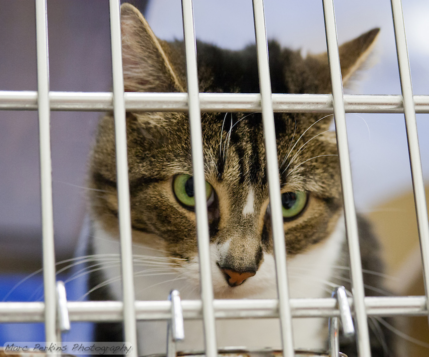 Oliver, a two year old male short-haired brown tabby and white cat, looks out from behind the bars of his cage.  I don't like pictures of cats behind bars, but it's what happens when people abandon their cats or let them have offspring uncontrolled.  Oliver is a sweet cat who needs a home with no dogs and no kids.  Oliver is up for adoption at Miss Kitty's Rescue in Costa Mesa, CA.  This picture was taken pro bono for Miss Kitty's Rescue to help them advertise the cats for adoption.