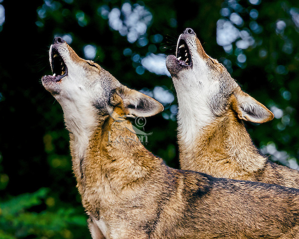 Red Wolf Howling Red Wolf (Canis lupus ...