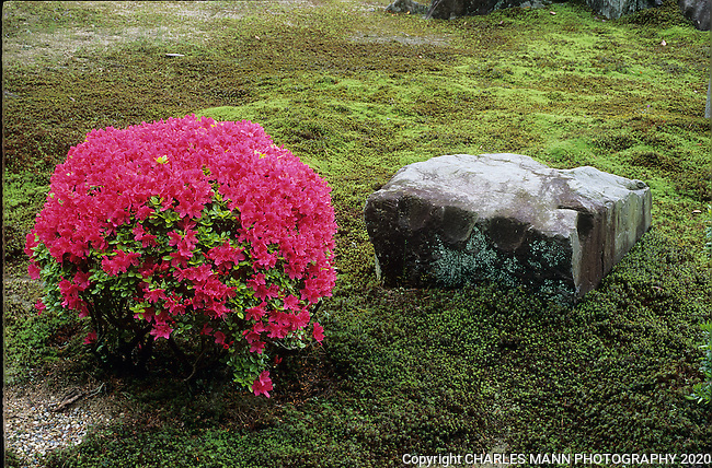 A stone and a bloomng azela on some moss is all that is needed to create a miniature Japanese garden.