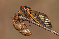 An adult 17-year periodical cicada (Magicicada septendecim) clings to a twig above its recently shed skin (exuvia) after emerging from its 17 year underground nymphal stage.   Brood II 17-year periodical cicadas emerged to breed in the spring of 2013 after last being seen in 1996.