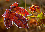 Red Leaf with Hoar Frost