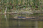 An American Alligator soaks up the sun.