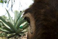 A donkey at the Del Razo hacienda. The Del Razo family have discovered a way to can pulque without it exploding, this allows them to export to the US and Germany. Pulque route, Nanacamilpa Tlaxcala, Mexico June 5, 2007