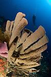A diver looks on at large tube sponges in north Dominica