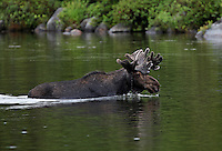 Bull Moose in Velvet, Swimming