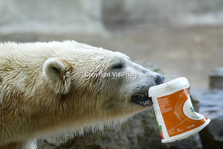 Foto: VidiPhoto..RHENEN - Na een afwezigheid van twee jaar is ijsbeer Victor weer terug in Ouwehands Dierenpark. De mannetjes ijsbeer was tijdelijk uitgeleend aan Artis om daar bij het vrouwtje Kathrien voor nageslacht te gaan zorgen. Omdat Kathrien echter niet meer bijkwam uit narcose na een operatie, was Victor alleen. Woensdag werd hij bij twee alleenstaande dames gevoegd. Die waren daar niet zo erg blij mee, hoewel Victor zelf zijn draai snel wist te vinden. Foto: De eerste buit is binnen.