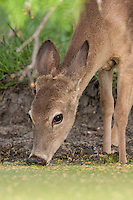 Whitetail deer drinking at pond in spring