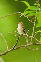 Field Sparrow, Spizella pusilla, singing; Indiana
