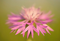 Brown Knapweed (Centaurea jacea)<br /> Sardinia, Italy