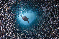 Galapagos Sea Lion (Zalophus californianus wollebacki) swimming through a large school of Black-striped Salema (Xenocys jessiae) off Santa Cruz Island, Galapagos Islands, Ecuador.