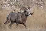 Bighorn Sheep ram
