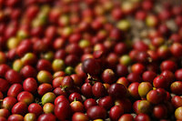 Doi Inthanon National Park, coffee beans