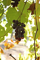 A bunch of Concord grapes hang from a vine growing outside of Willits in Mendocino County in Northern California.