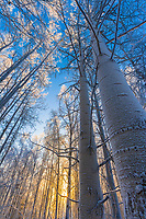Grove of Quaking aspen trees, winter boreal forest, Fairbanks, Alaska
