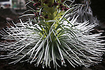 The Haleakala Silversword, Argyroxiphium sandwicense subspecies macrocephalum, growing on Mt. Haleakala at the 6000-9000 foot level. .This is the only place on Earth where the Silverswords are located. They are also considered to be an endangered plant species, with many lost to vandalism, trampling, and a feral goat population. .The Silversword produces purple blooms, then expires.