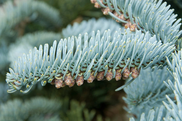 Tiny pinecones forming on the evergreen  conifer Abies procera 'Glauca' (blue Noble fir), popular Christmas tree variety with blue needles