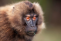 Gelada juvenile showing aggression by flashing eyebrows display (Theropithecus gelada), Simien Mountains National Park, Ethiopia.