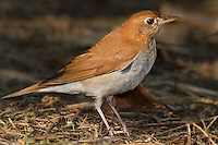 589500002 a wild veery catharus fuscenscens perches among leaf litter on south padre island along the texas gulf coast