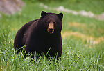 Black bear, Alaska