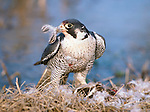 Peregrine falcon dismembers its kill, a mallard duck, Malheur National Wildlife Refuge, Oregon, USA