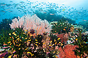 Healthy coral reef system, Calvados Chain, Papua New Guinea